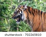 growling sumatran tiger ...   Shutterstock . vector #702265810