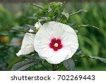 closeup of perennial hibiscus... | Shutterstock . vector #702269443