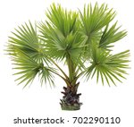 young betel palm on isolate... | Shutterstock . vector #702290110