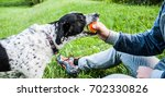 Stock photo one black and white female dog refusing to give back the ball to a male owner in a grassy field on 702330826
