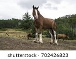 Clydesdale Standing In The...