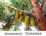 Small photo of close up african breadfruit tree with fruits