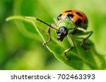A Cucumber Beetle