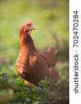 closeup of a hen in a farmyard  ... | Shutterstock . vector #702470284