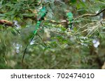 quetzal birds wild male and... | Shutterstock . vector #702474010
