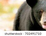 Black Bear Closeup Face Muskok...