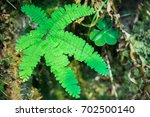 Small photo of Close up of Five finger fern (Adiantum aleuticum), Prairie Creek Redwoods State Park, California