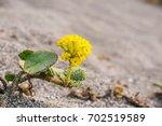 Yellow Sand Verbena  Abronia...
