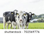 black and white cows on a field ... | Shutterstock . vector #702569776