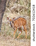 Small photo of Beautiful young Nyala bull antelope in the wild