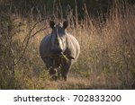 a rhino eating grass while... | Shutterstock . vector #702833200
