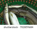 Small photo of Black eeltail catfish and Mullet fish Have a taste taste delicious at caught by a fisherman on fishing boat in green basket are raw material of cooking. Lifestyle of villagers inhabiting coast sea.