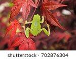 Green Tree Frog Climbing On...