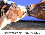 Feeding Calf With Bottle Of Milk