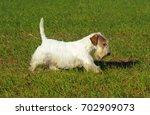 Portrait of  Sealyham Terrier Dog in outdoors.