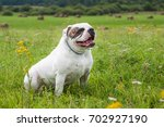 white american bulldog on the... | Shutterstock . vector #702927190