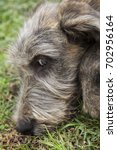 Small photo of Irish Wolfhound Puppy