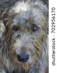 Small photo of Irish Wolfhound