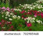 Kosmeya.ischaschnye Plants Wit...