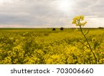 yellow rape field under nice... | Shutterstock . vector #703006660