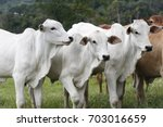 cattle for meat production in...   Shutterstock . vector #703016659
