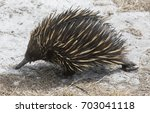 echidna or spiny  anteater ... | Shutterstock . vector #703041118