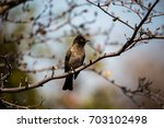 Small photo of African Red-Eyed Bulbul on a branch in Botswana, Africa.