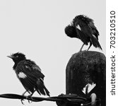 Small photo of Common Myna (Acridotheres tristis)in black and white