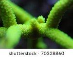 Small photo of acropora nobilis coral