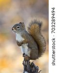 Small photo of American Red Squirrel Tamiasciurus hudsonicus with fall colors background in Teslin, Yukon, Canada