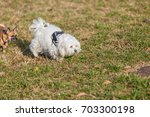small white dog and small red... | Shutterstock . vector #703300198