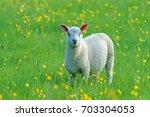 Young Charollais Lamb Enjoying...