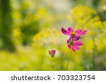 Three Purple Cosmos Flower On ...