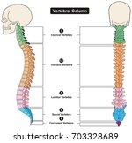 vertebral column of human body... | Shutterstock . vector #703328689