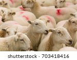 Flock Of Sheep Rounded Up For...