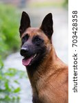 Small photo of Malinois portrait.