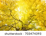 Ginkgo's Autumn Leaves.