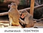 baboons. | Shutterstock . vector #703479454