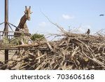 giraffe eating and a crow... | Shutterstock . vector #703606168