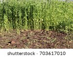 weeded soil against an unweeded ... | Shutterstock . vector #703617010