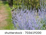artistic view of perovskia... | Shutterstock . vector #703619200