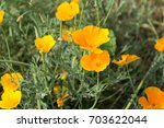 california poppies and... | Shutterstock . vector #703622044