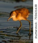 Small photo of African Jacana feeding on the waterlilies in the Chobe River, Botswana