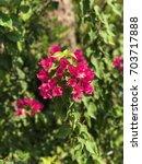 bougainvillea flowers | Shutterstock . vector #703717888