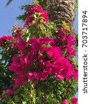 bougainvillea flowers | Shutterstock . vector #703717894