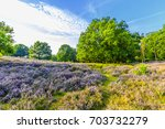 purple flowering heather on... | Shutterstock . vector #703732279