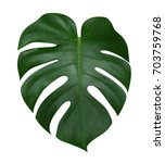 monstera plant  leaf  the... | Shutterstock . vector #703759768