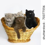 Stock photo four scottish kitten in a basket 70377556