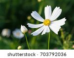 background white cosmos flowers ... | Shutterstock . vector #703792036