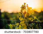 sunset on vineyard | Shutterstock . vector #703807780